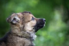 Sheyko (mâle collier brun)